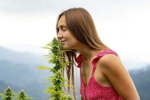 Chanvre ou marijuana